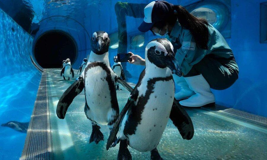 عکس روز ، بازدید پنگوئن ها از پارک دریایی
